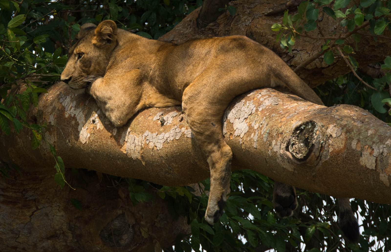 Lions sleeping in a sycamore fig tree in Queen Elizabeth National Park where they famously climb trees