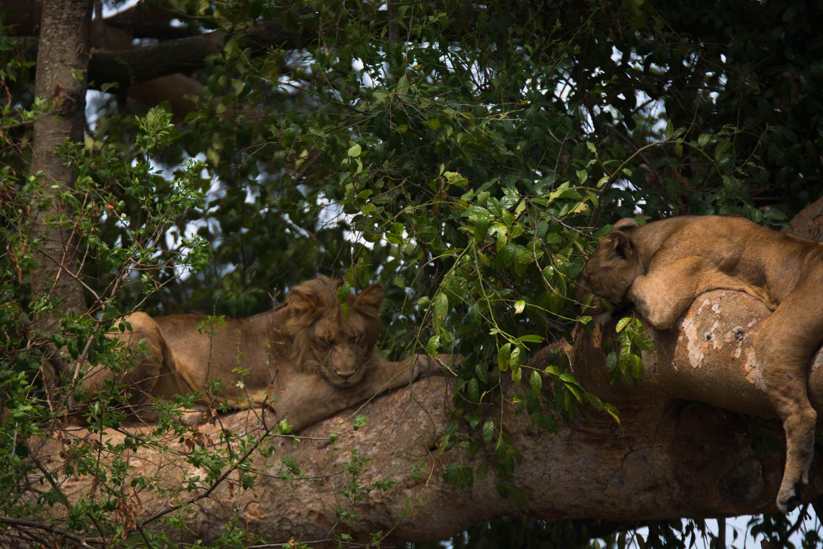 You stand the chance of seeing a pride of lions relaxing in the branches of large fig trees in Uganda