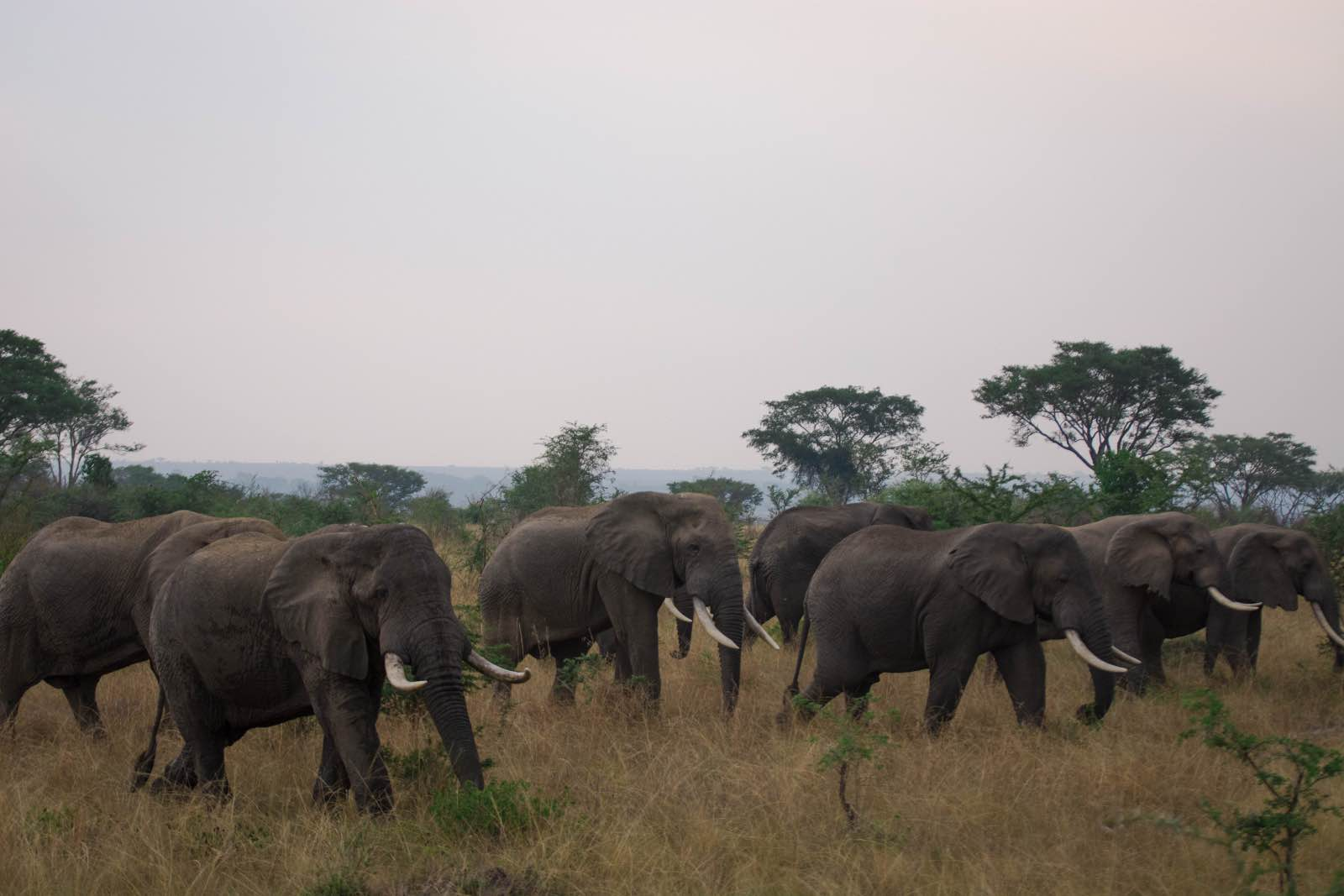 Elephants are a common sight on the savannah of QENP