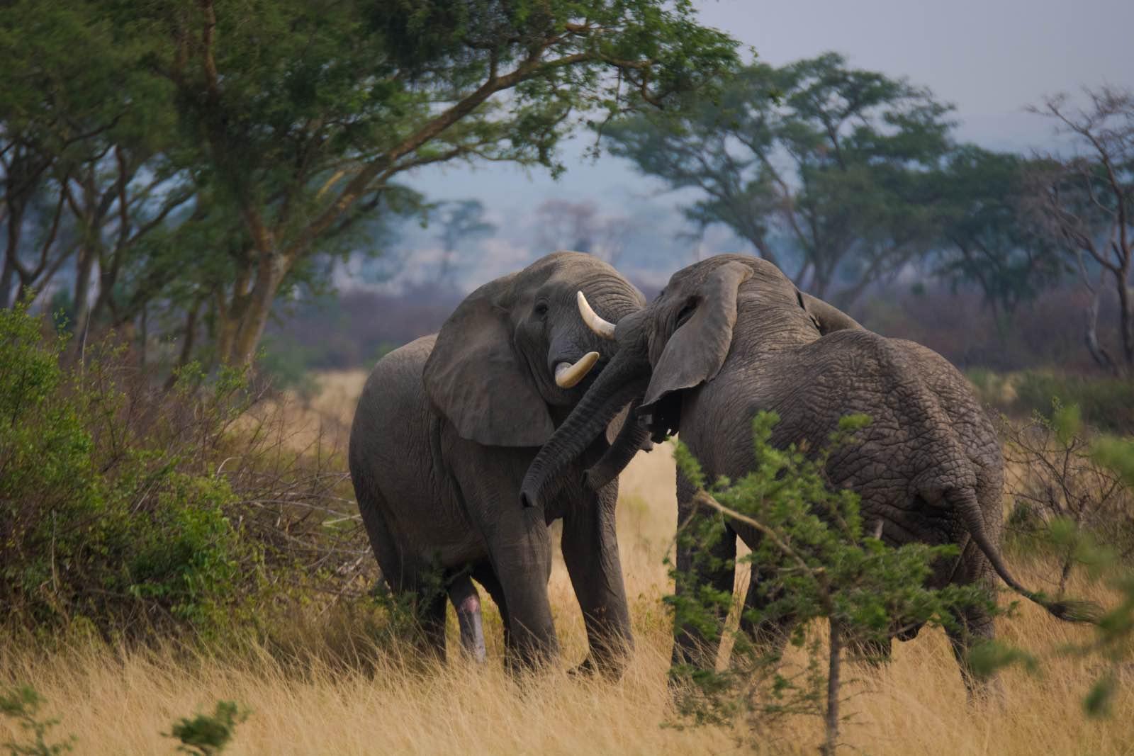 A pair of elephant bulls having a tussle