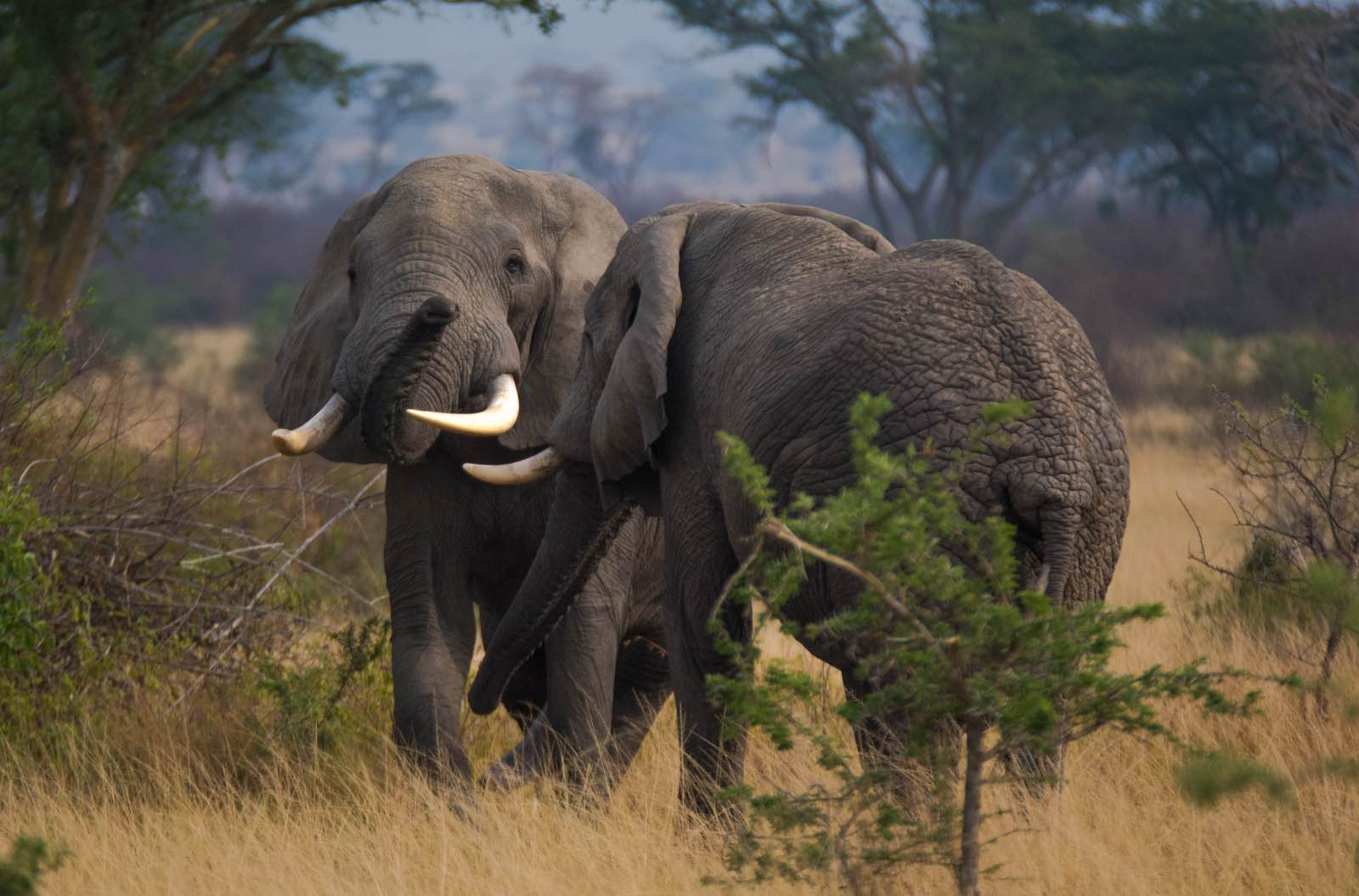 Large bull elephants try to dominate one another making for an amazing sighting in QENP