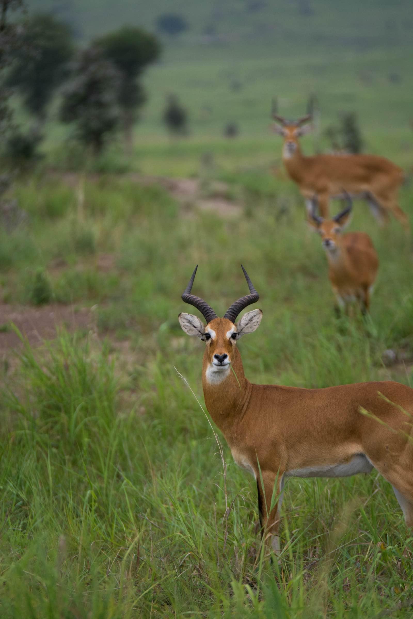 The Ugandan kob - the country's national animal