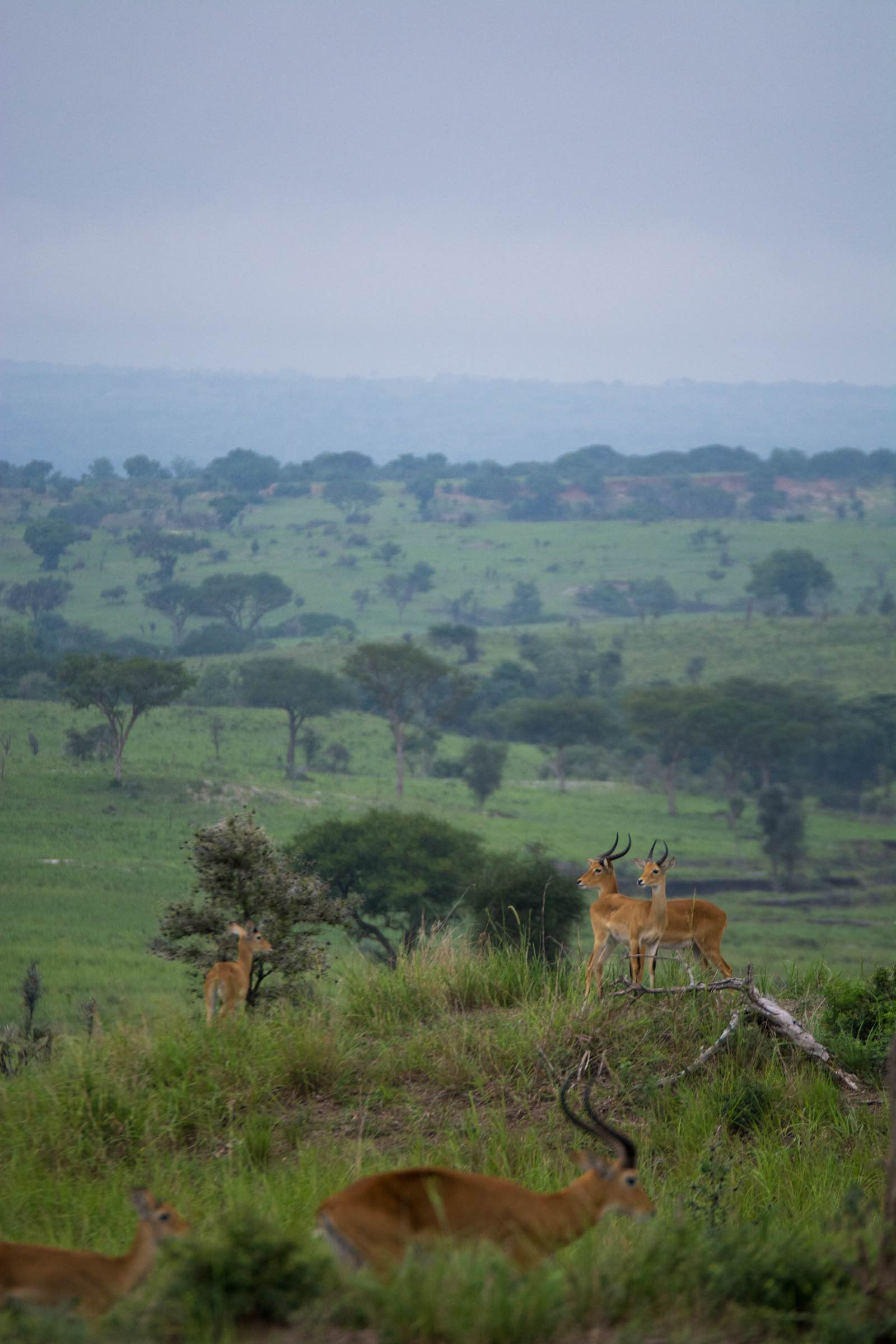 Incredible landscapes of Murchison Falls National Park with the iconic Ugandan kob on the lookout