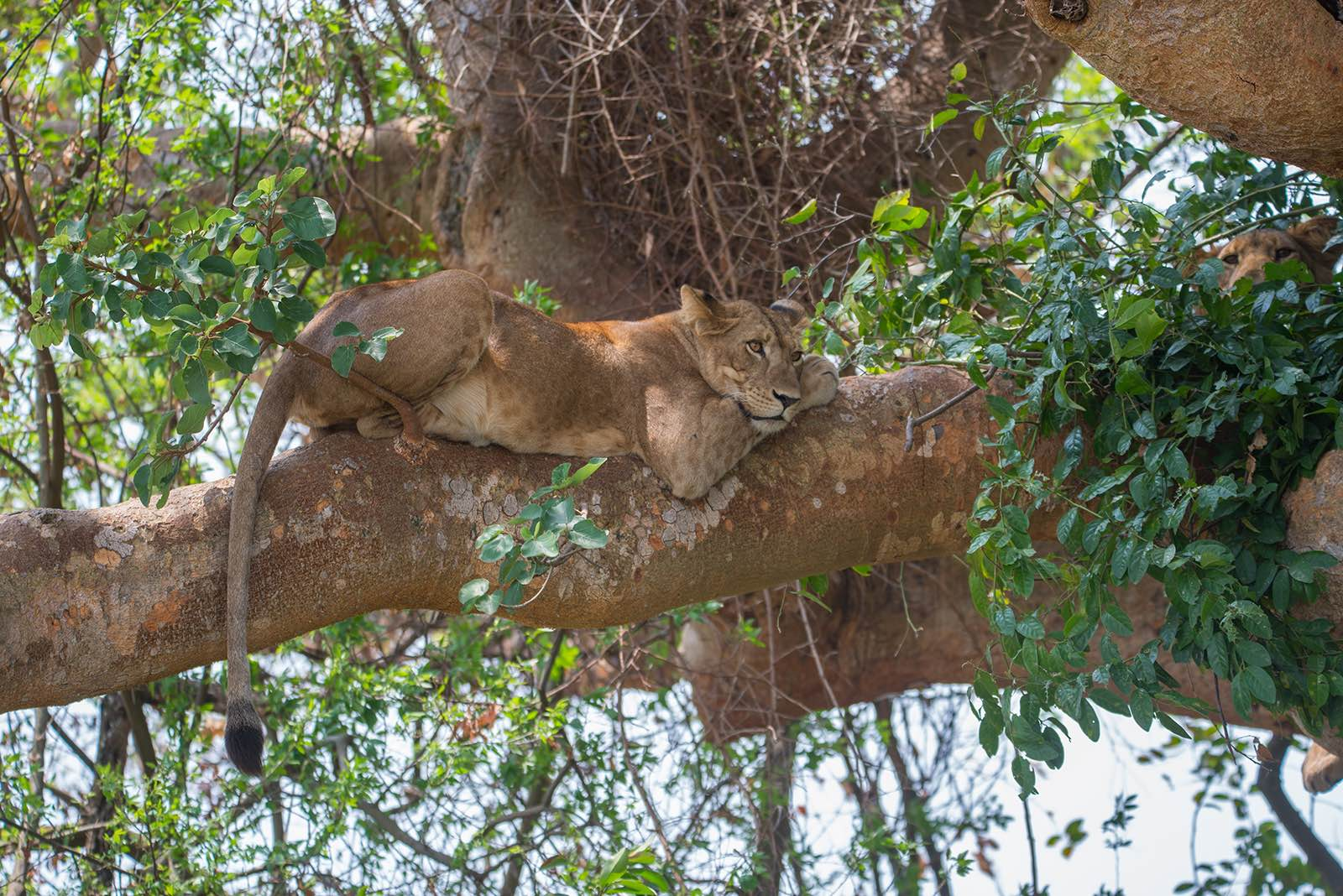 Dozy lions in the fig trees