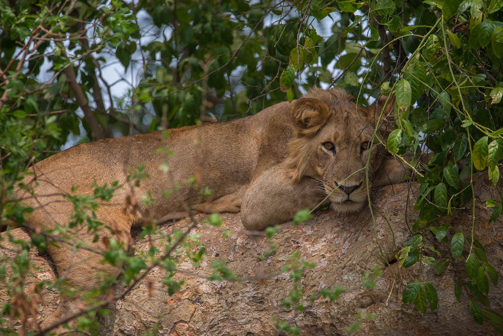 Making eye contact with a young male tree-climbing lion in Uganda