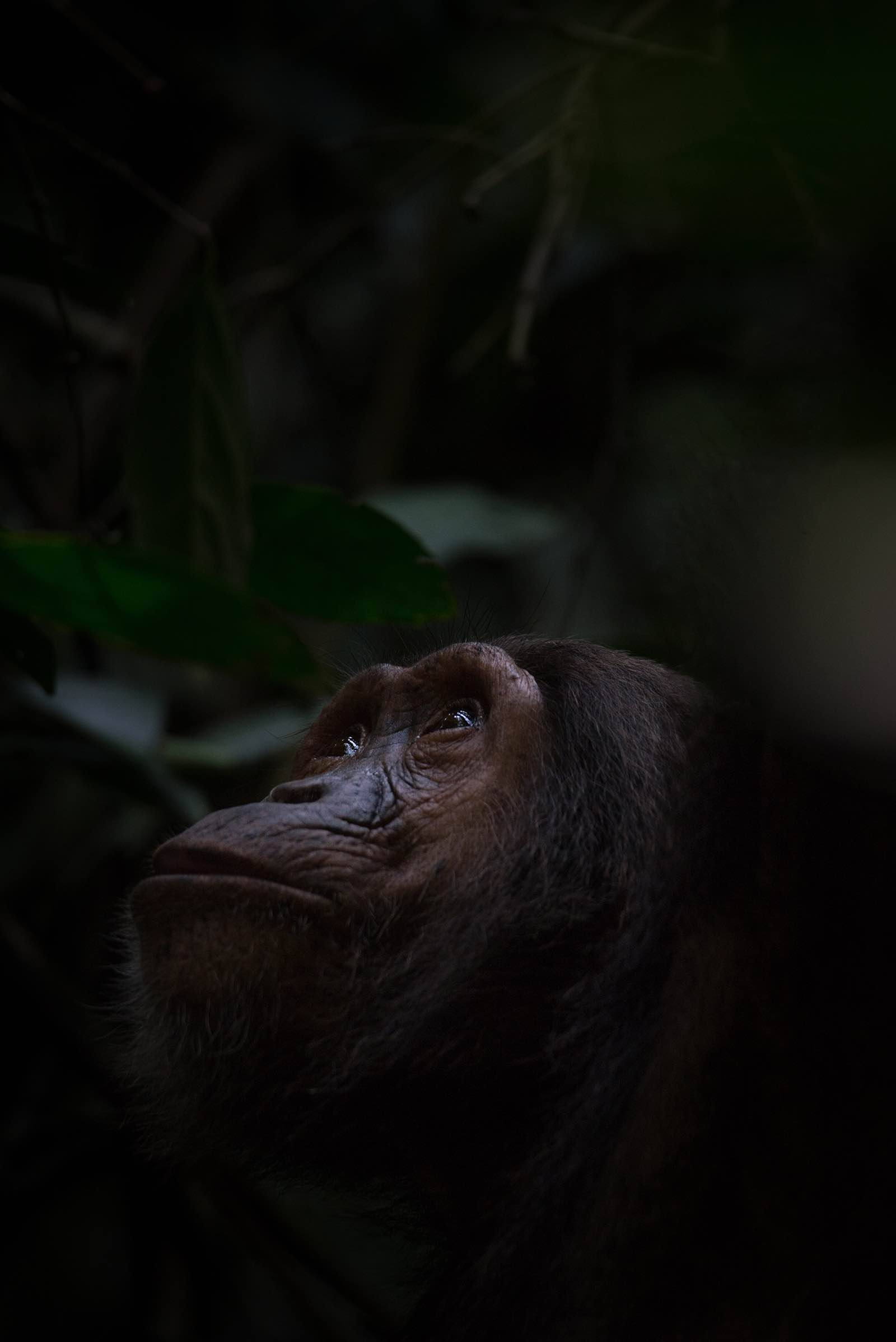 Looking up and watching other chimpanzees in the trees
