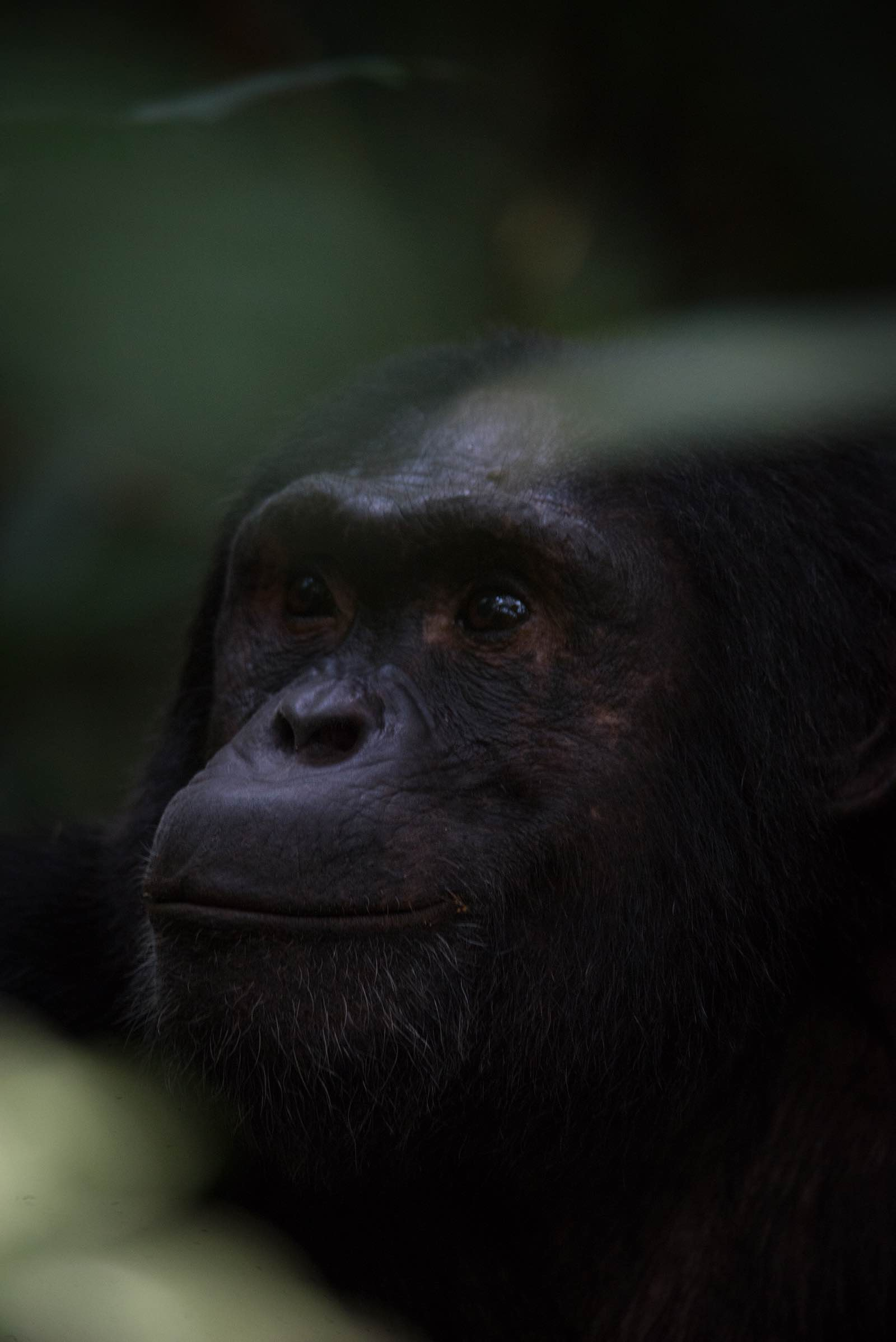 Pensive chimpanzee - the leader of his group in Kibale Forest