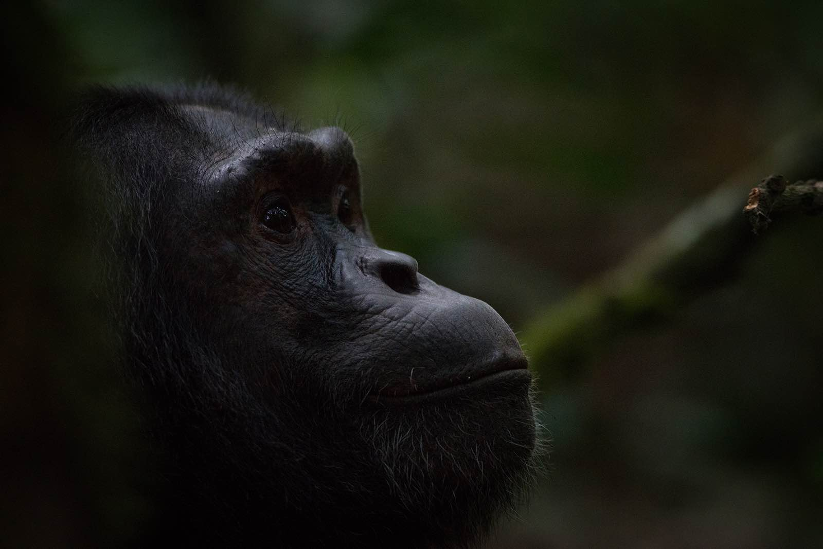 Profile of a chimpanzee in the green forest