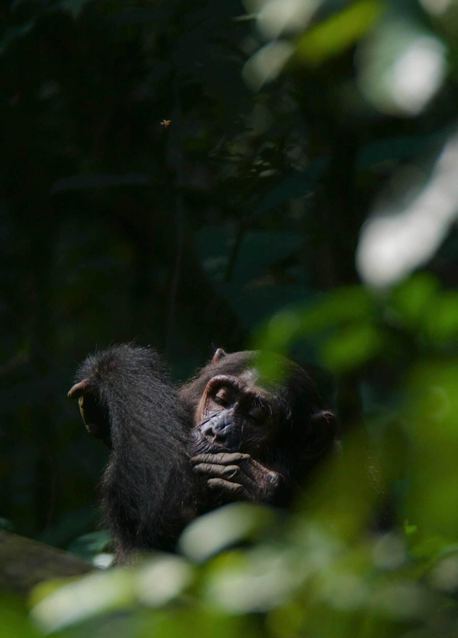 Self-grooming chimpanzee