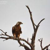 Kruger Birding Safari : The Elegant Eagles