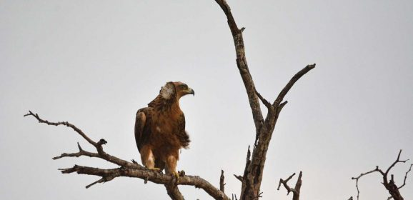 Kruger Birding Safari : The Elegant Eagles