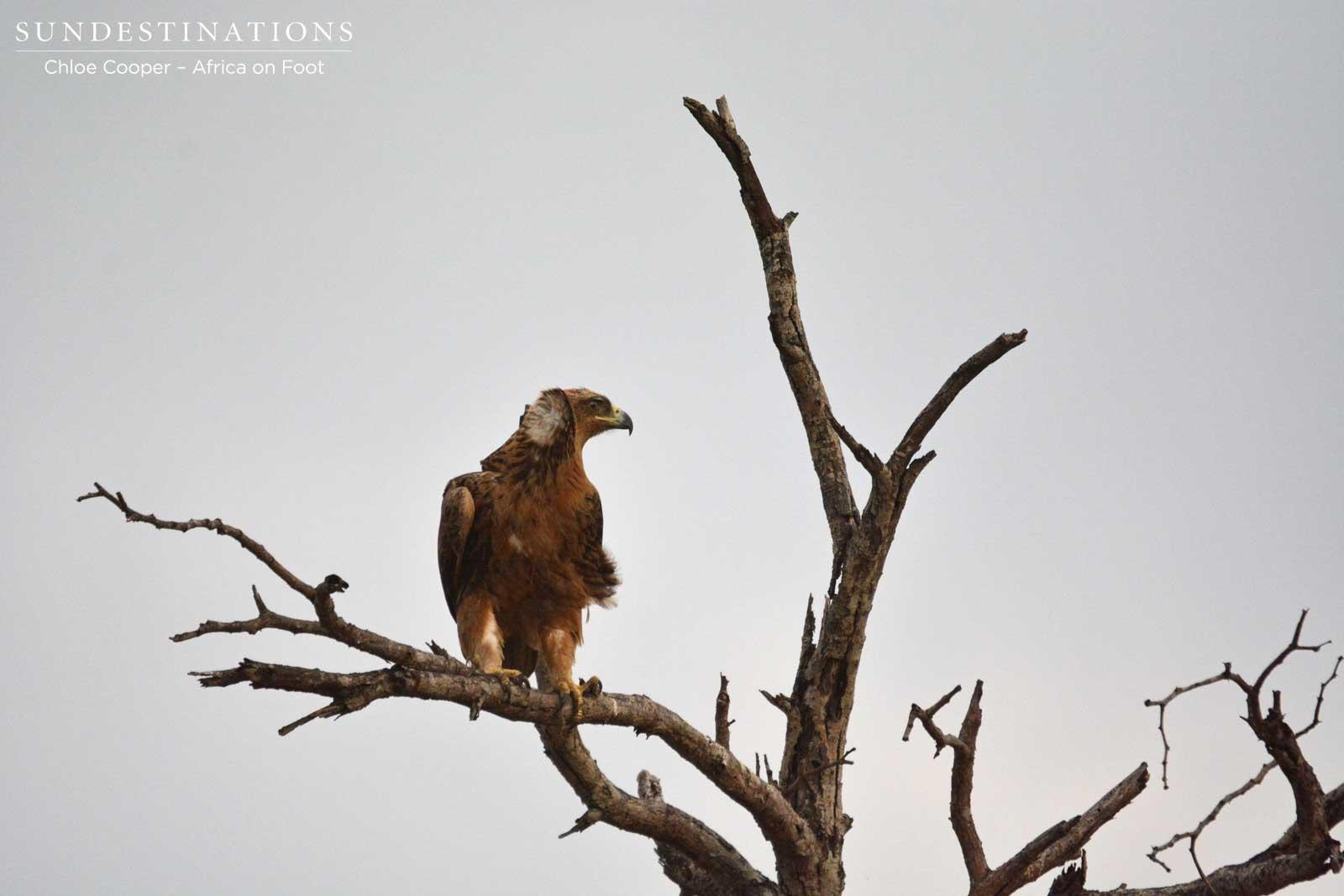Tawny Eagle in Kruger