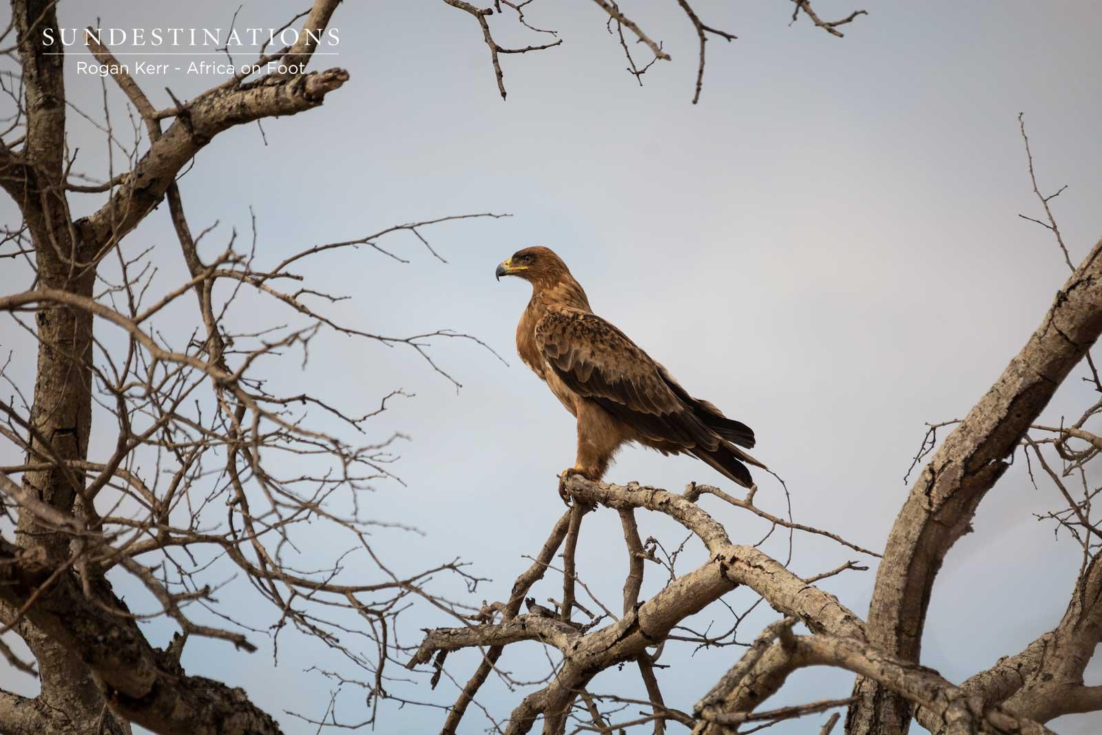 Tawny Eagle - Rogan Kerr