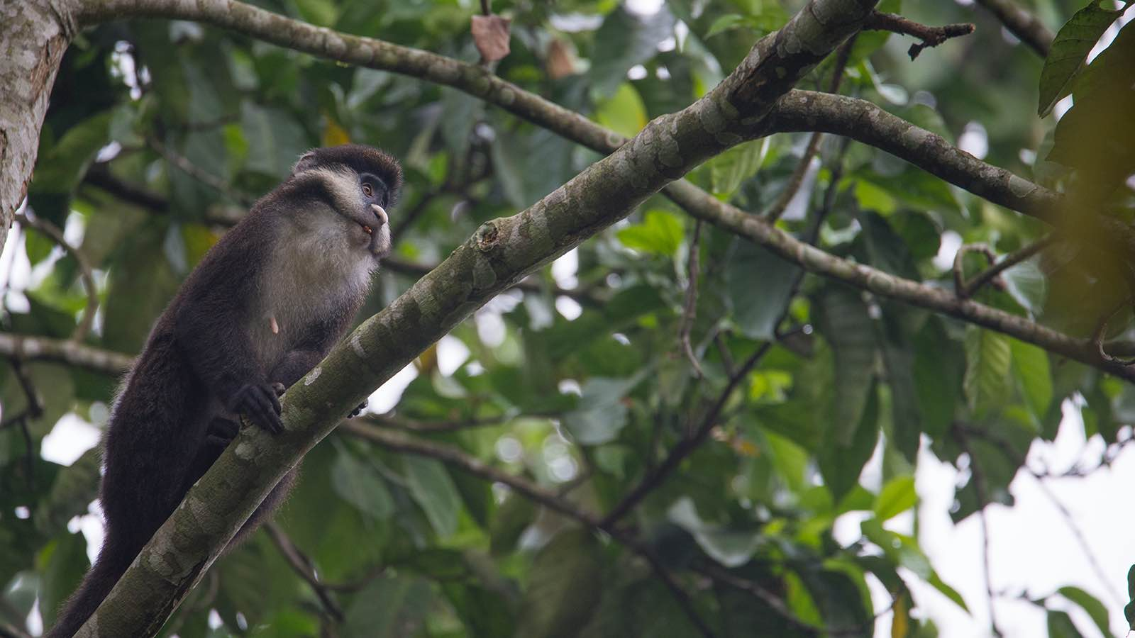 red-tailed monkey foraging in a tree in Kibale Forest