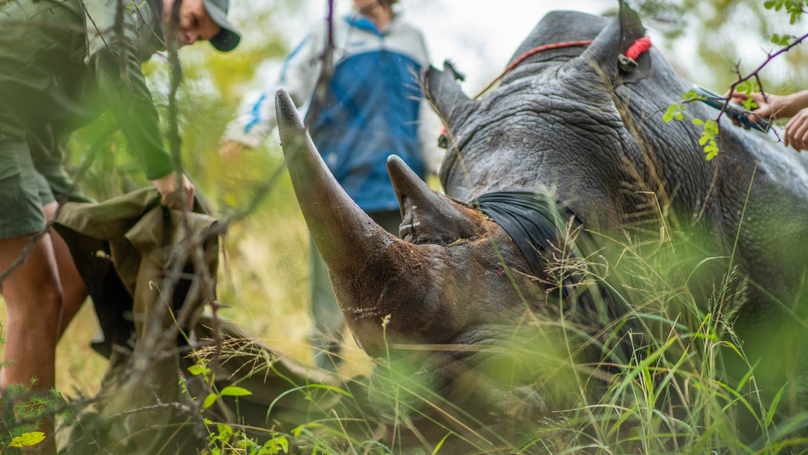 Balule rhino dehorning operation by Kevin MacLaughlin1