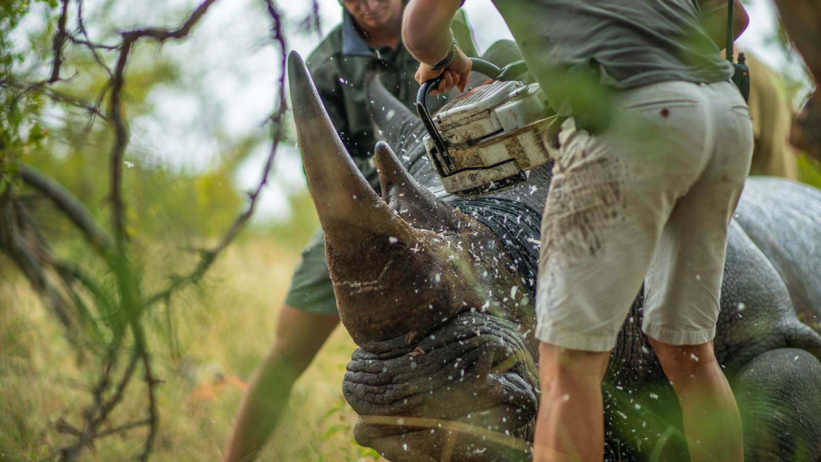Rhinos in the Greater Kruger reserves have been de-horned