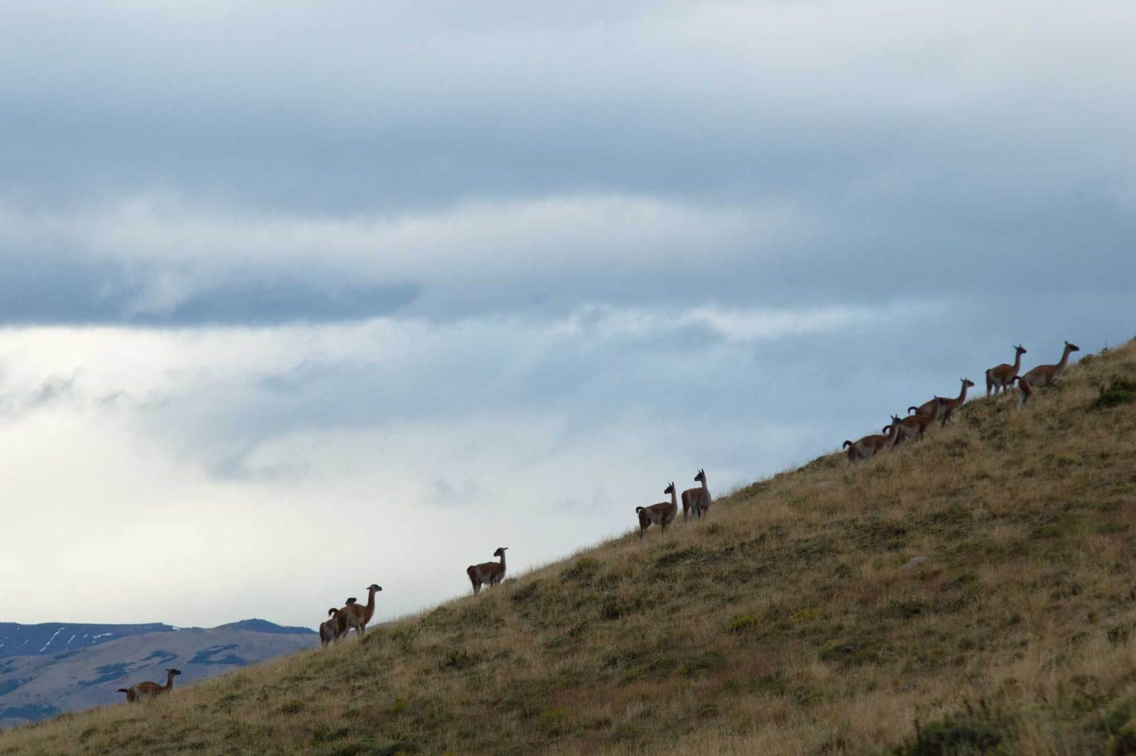 Guanacos on the hillside