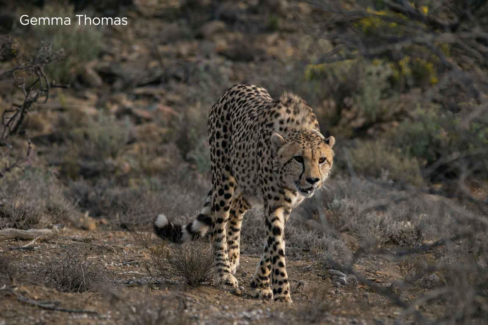 Cheetah in Roam Private Game Reserve