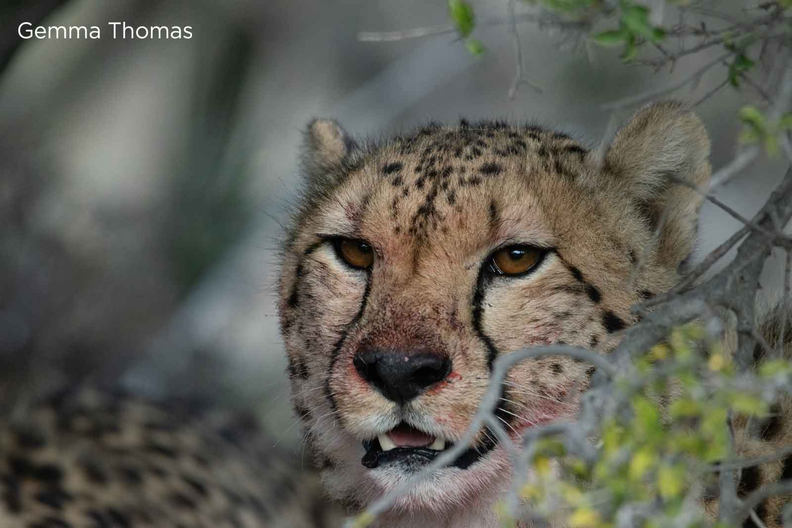 3 Interesting Facts About Cheetahs, 3 Interesting Facts About Cheetahs
