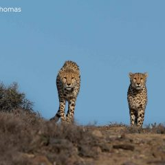 3 Interesting Facts About Cheetahs