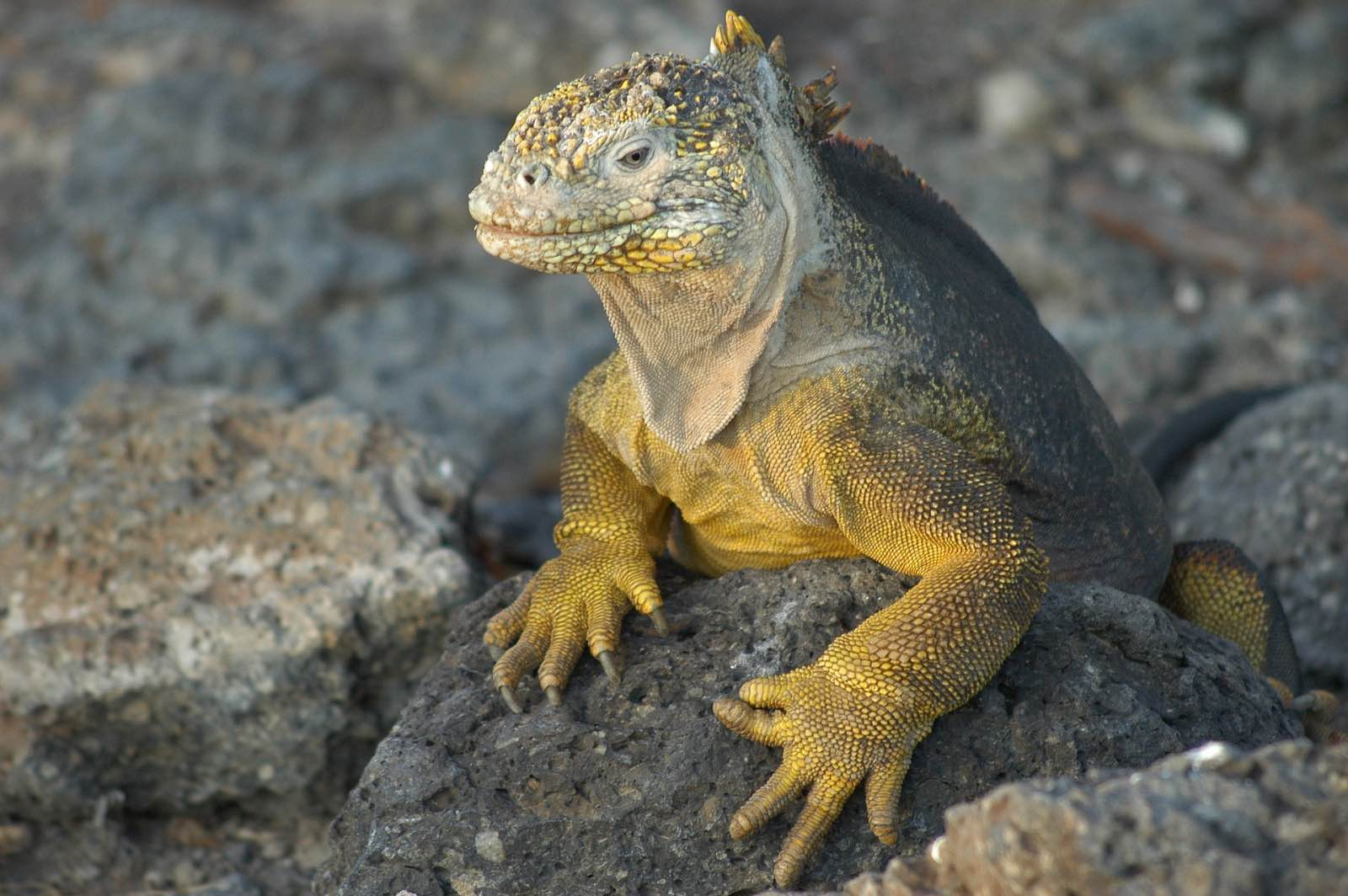 Iguana, Galapagos Islands
