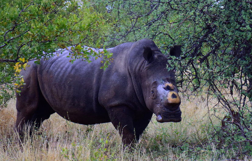 dehorned rhinos, Rhinos in the Greater Kruger reserves have been de-horned