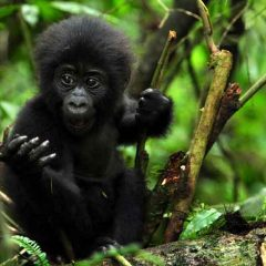 Gorilla Trekking Increases Population Numbers in Uganda