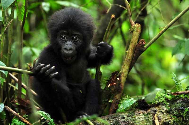 Gorilla Trekking Increases Population Numbers in Uganda