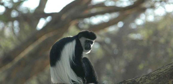 Primates to Look-Out for While Gorilla Trekking in Africa