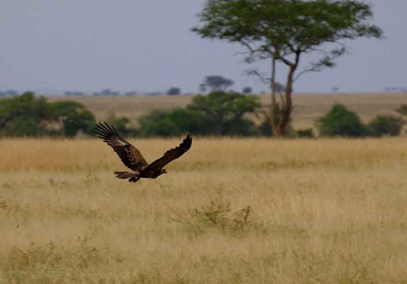 East Africa Bird of Prey
