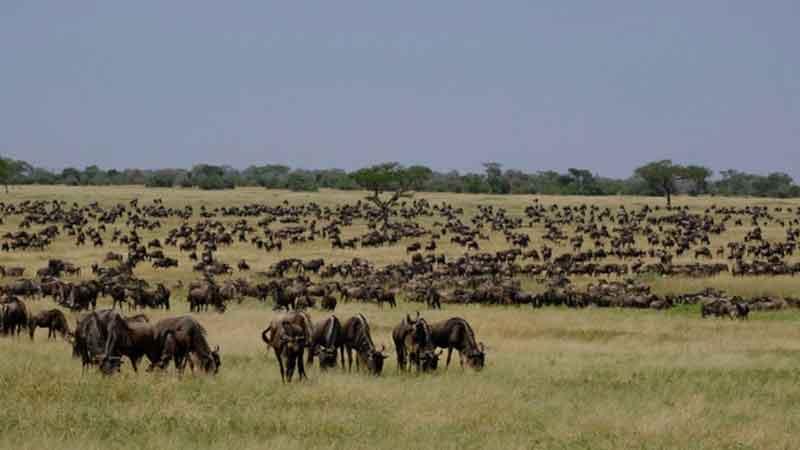 East Africa Wildebeest