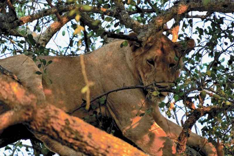 Tree-climbin Lions East Africa