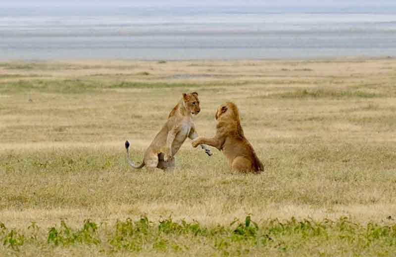 East Africa Lions