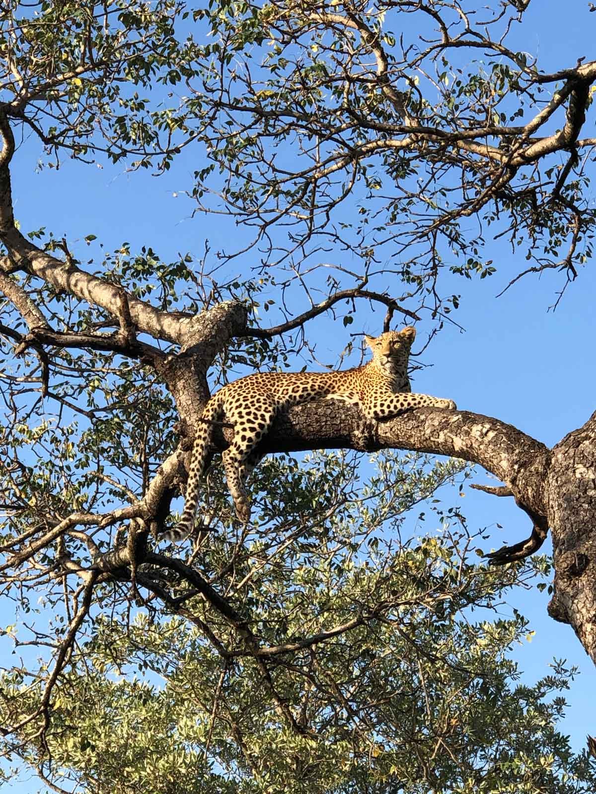 Leopard Ulusaba