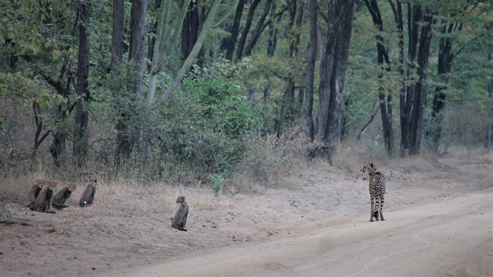 Cheetah cubs spotted in Liwonde National Park, Malawi