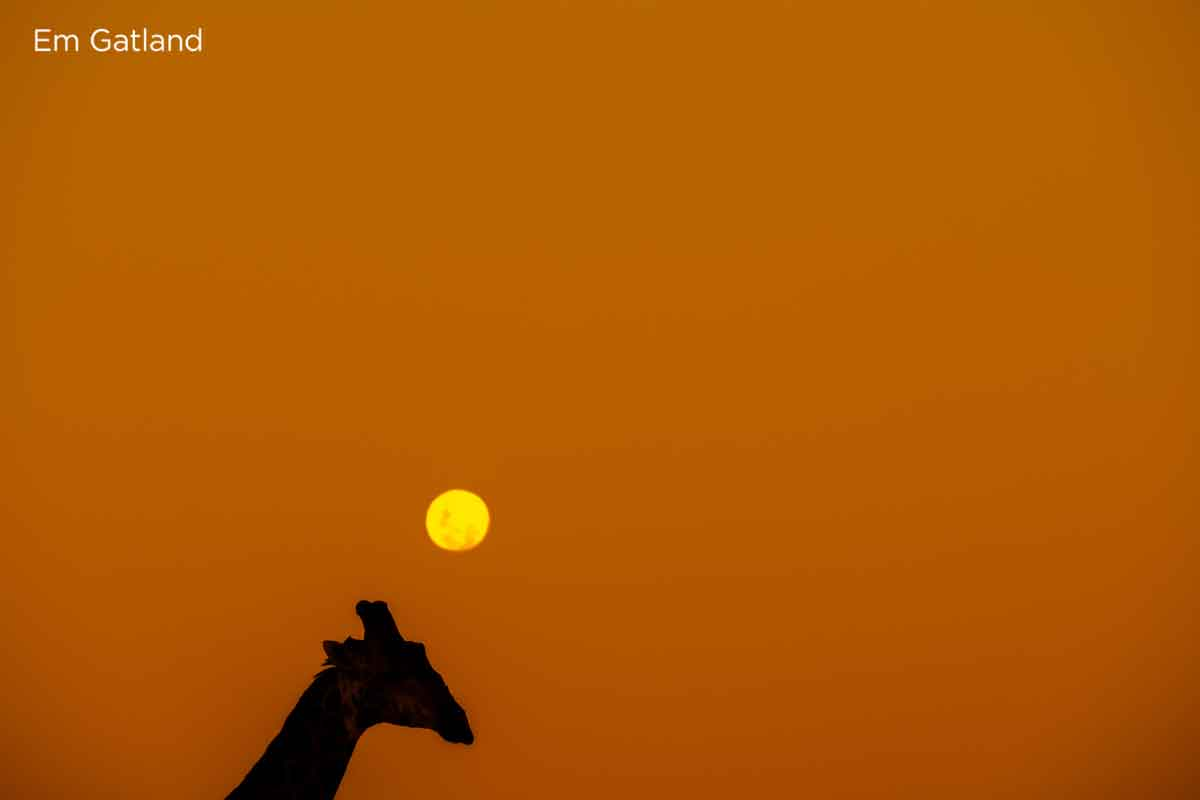 Giraffe Walking Across Horizon