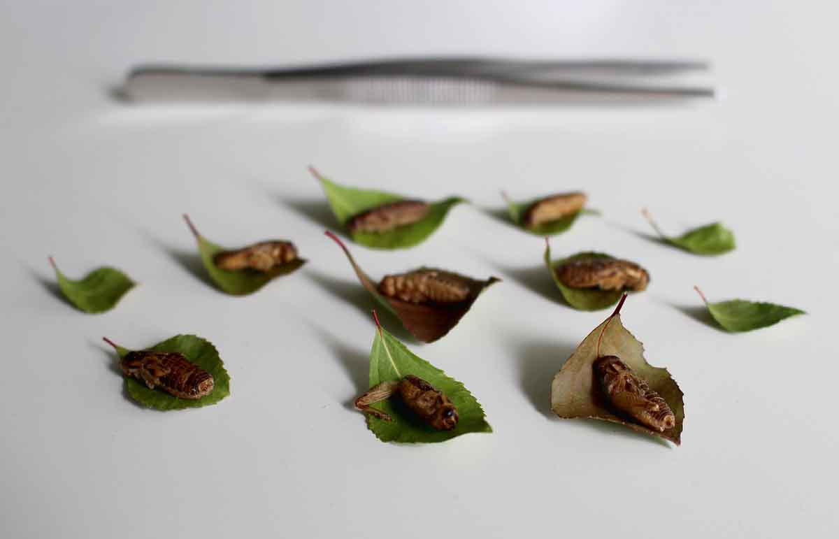 Eating Insects is Sustainable
