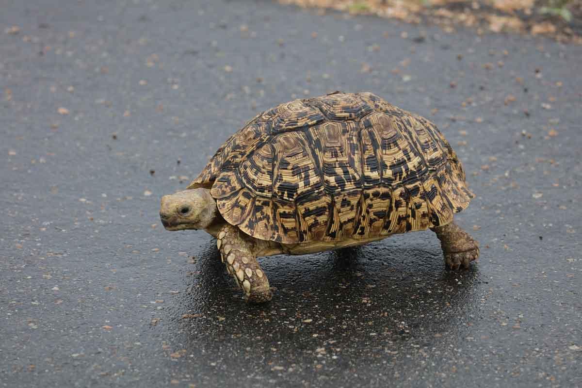 Little 5 on Safari - Leopard Tortoise