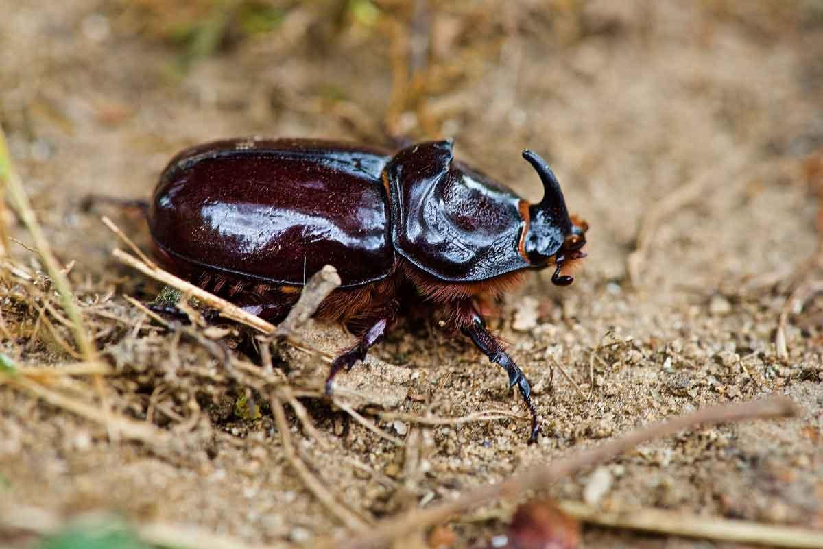 Little 5 on Safari - Rhino Beetle