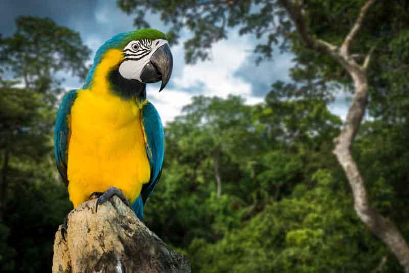 The Pantanal Hyacinth Macaw