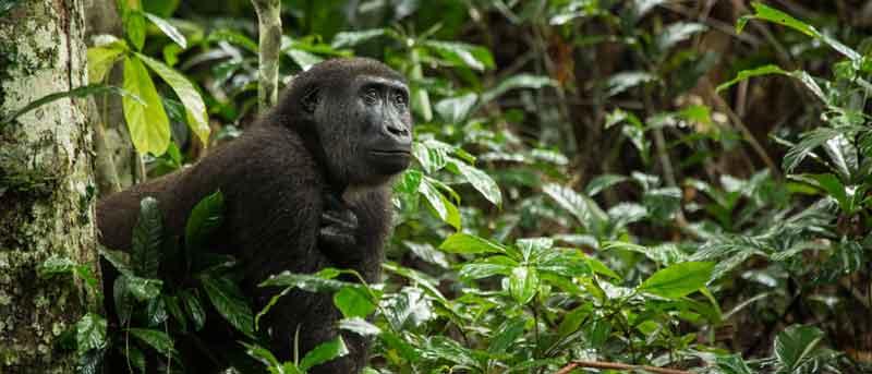 Ngaga Gorillas in the Mist