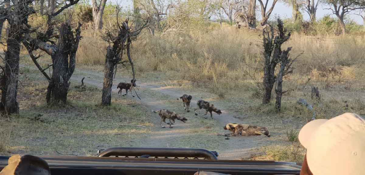 Wild Dogs at Golden Camp