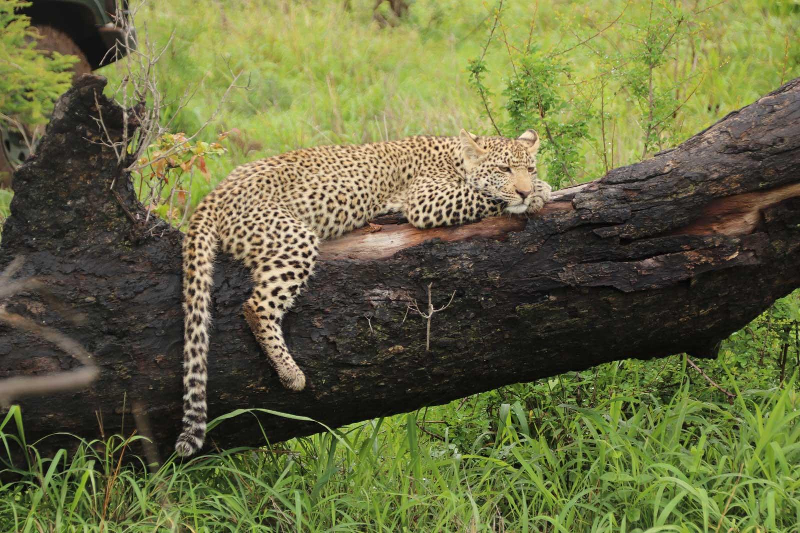 Leopards in Manyaleti