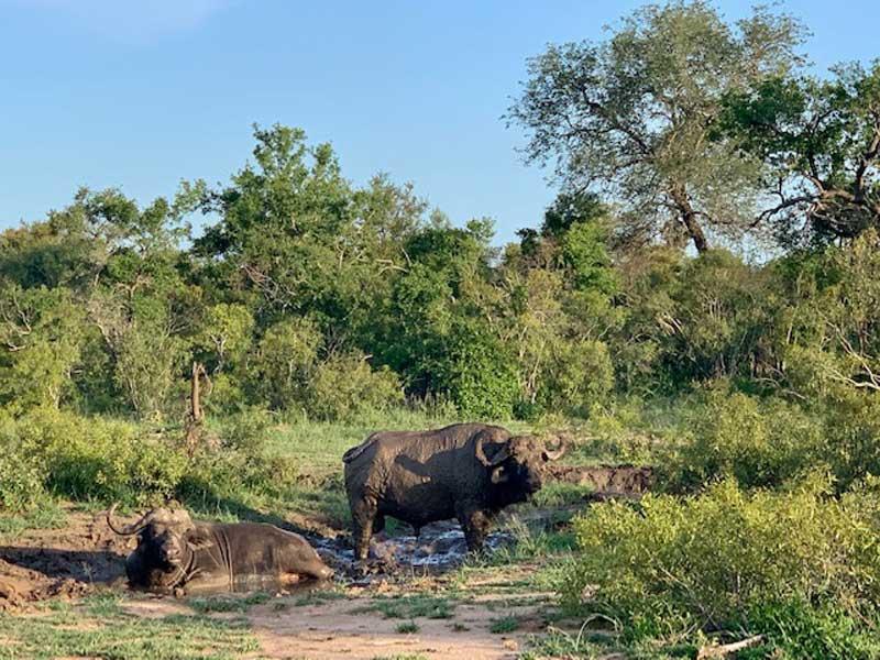 Buffalo on Safari