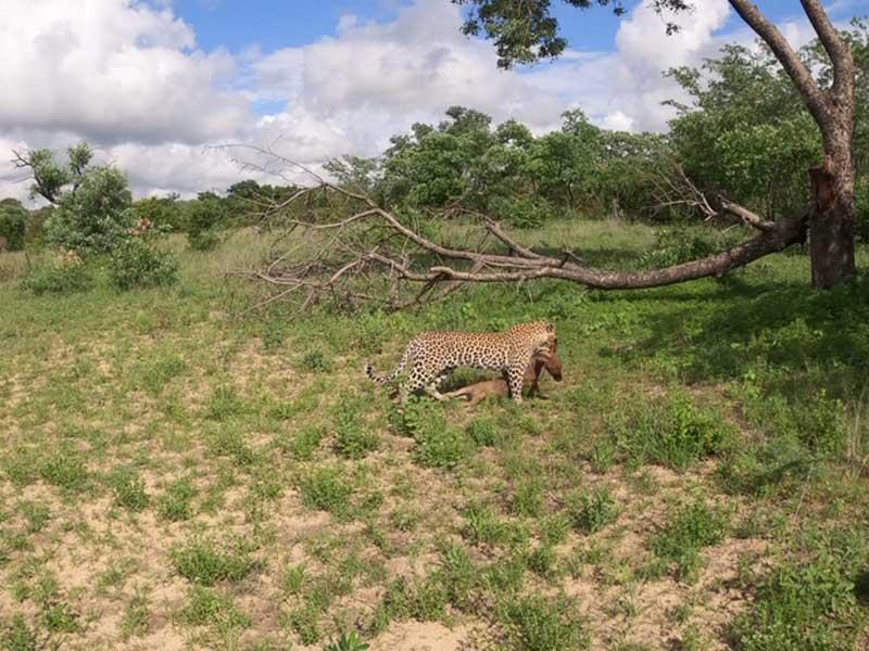 Leopard on Kill