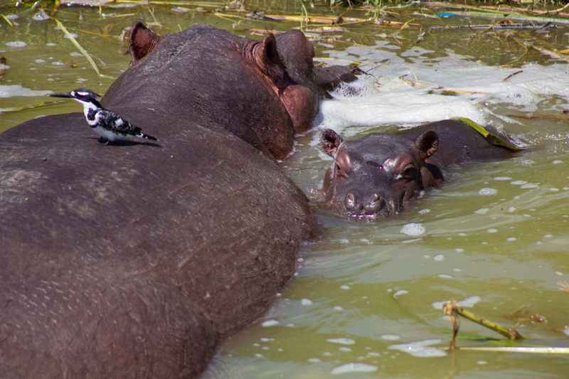 Hippo and baby in the Kazinga Channel