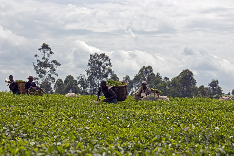 Tea Plantations in Uganda