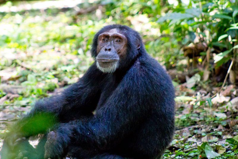 Michelle Chimpanzee trekking 1
