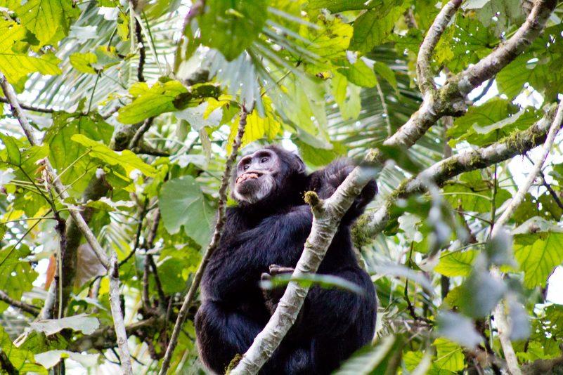 Michelle Chimpanzee trekking 2