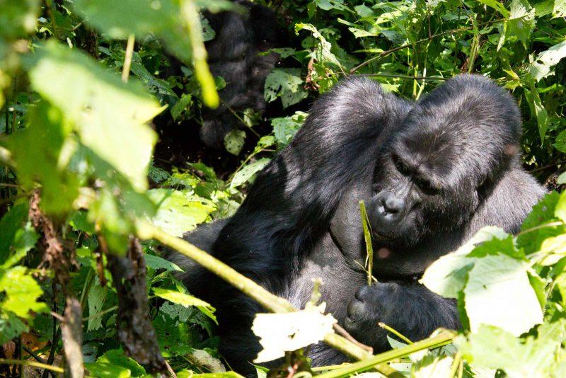 Michelle Uganda Gorilla Trekking 2